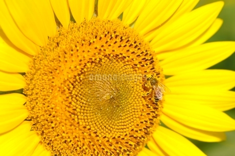 ヒマワリとハチの写真素材 [FYI03409005]