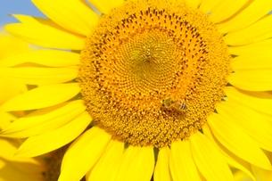 ヒマワリとハチの写真素材 [FYI03409007]