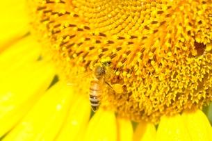 ヒマワリとハチの写真素材 [FYI03409029]