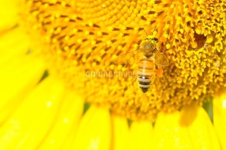ヒマワリとハチの写真素材 [FYI03409030]