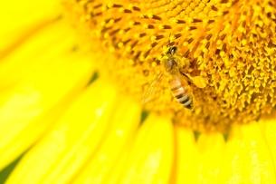 ヒマワリとハチの写真素材 [FYI03409031]