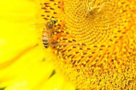 ヒマワリとハチの写真素材 [FYI03409032]