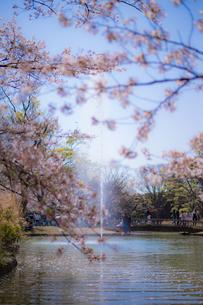 桜と噴水の写真素材 [FYI03409038]