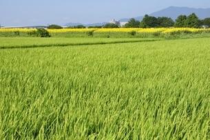 緑の田んぼと丹沢の写真素材 [FYI03409045]