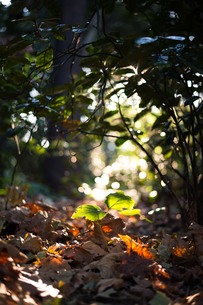 落ち葉の中の新芽の写真素材 [FYI03409053]