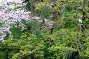 白鷺の花見の写真素材 [FYI03409055]