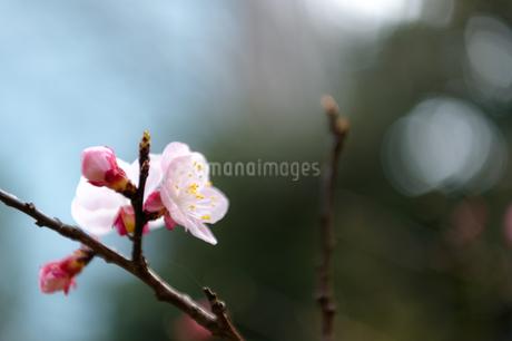 冬の桜の写真素材 [FYI03409056]