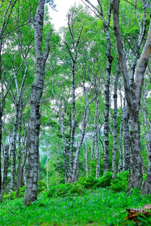 白樺の森の写真素材 [FYI03409074]