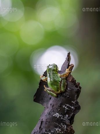 森の中のアマガエルの写真素材 [FYI03409076]