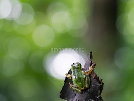 森の中のアマガエルの写真素材 [FYI03409077]