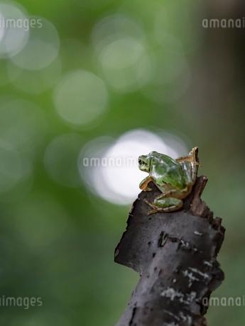 森の中のアマガエルの写真素材 [FYI03409078]