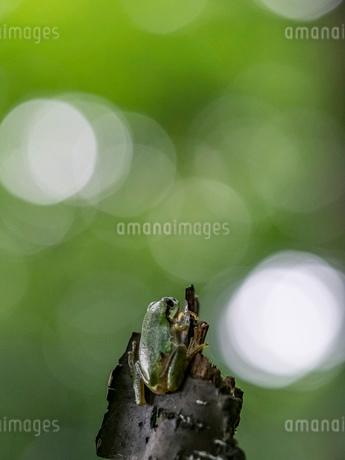 森の中のアマガエルの写真素材 [FYI03409080]