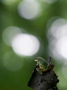 森の中のアマガエルの写真素材 [FYI03409081]