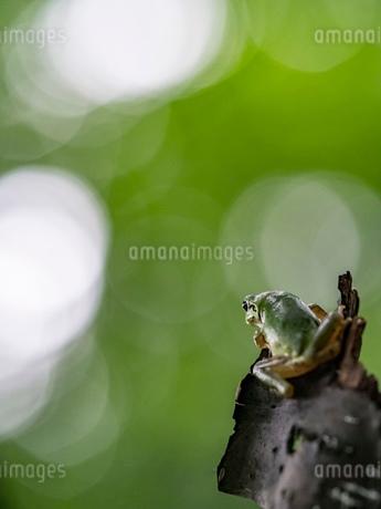 森の中のアマガエルの写真素材 [FYI03409082]