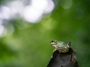 森の中のアマガエルの写真素材 [FYI03409083]