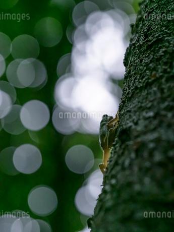 森の中のアマガエルの写真素材 [FYI03409084]
