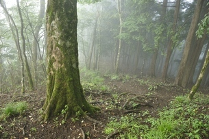 山霧に煙る甲相国境尾根の森の写真素材 [FYI03409293]