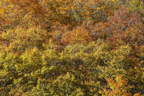 黄葉のテクスチャー の写真素材 [FYI03409505]