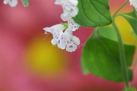カラミントの花の写真素材 [FYI03409507]