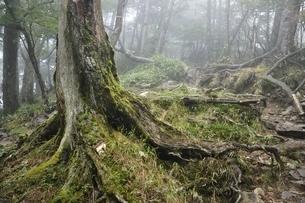 大菩薩嶺の原生林の写真素材 [FYI03409554]