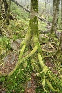 大菩薩嶺の森の写真素材 [FYI03409579]