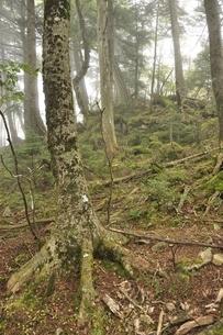 大菩薩嶺の原生林の写真素材 [FYI03409581]