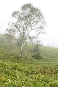 霧に立つ岳樺の木の写真素材 [FYI03409588]
