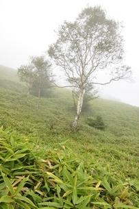 霧に立つ岳樺の木の写真素材 [FYI03409589]