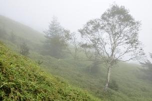 霧に立つ岳樺の木の写真素材 [FYI03409590]