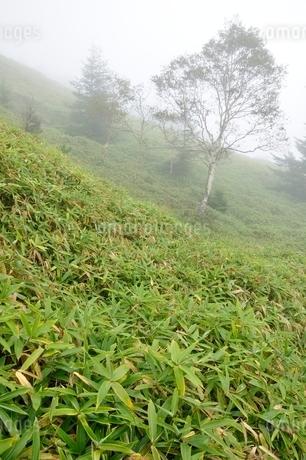霧に立つ岳樺の木の写真素材 [FYI03409591]