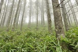 霧のカラマツ林の写真素材 [FYI03409593]