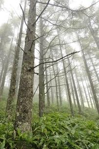 霧のカラマツ林の写真素材 [FYI03409594]