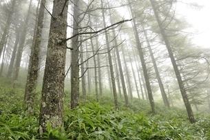 霧のカラマツ林の写真素材 [FYI03409595]