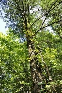 やまなしの森林100選 大菩薩のウラジロモミの写真素材 [FYI03409680]