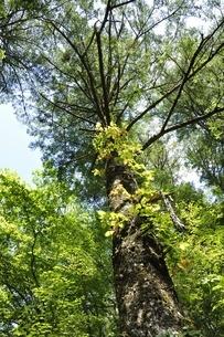 やまなしの森林100選 大菩薩のウラジロモミの写真素材 [FYI03409681]