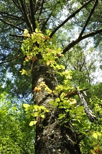 やまなしの森林100選 大菩薩のウラジロモミの写真素材 [FYI03409682]