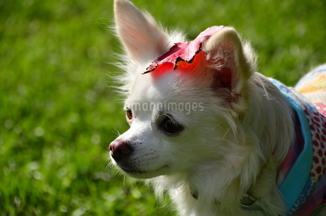 犬 チワワ 秋 紅葉 落ち葉の写真素材 [FYI03409691]
