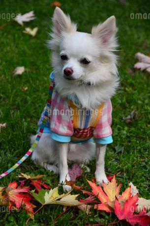 犬 チワワ 秋 落ち葉 紅葉の写真素材 [FYI03409693]