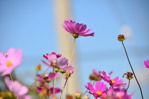 秋桜の写真素材 [FYI03409694]