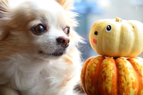 チワワ 犬 かぼちゃの写真素材 [FYI03409705]