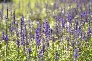 紫色の花の写真素材 [FYI03409709]