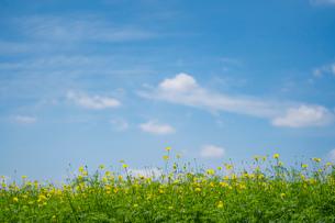 青空と雲とキバナコスモスの写真素材 [FYI03409751]