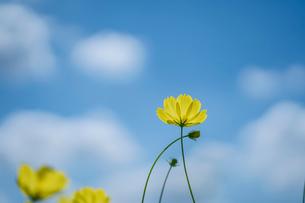 青空と雲とキバナコスモスの写真素材 [FYI03409756]