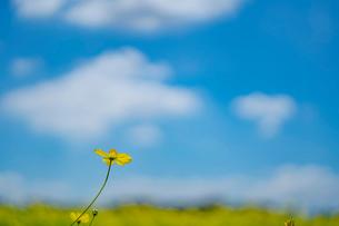 青空と雲とキバナコスモスの写真素材 [FYI03409757]
