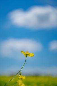青空と雲とキバナコスモスの写真素材 [FYI03409758]