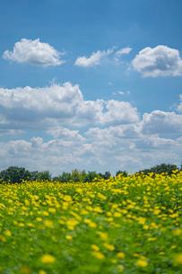 青空と雲とキバナコスモスの写真素材 [FYI03409759]