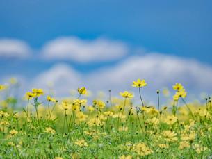 青空と雲とキバナコスモスの写真素材 [FYI03409760]