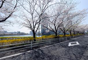 満開のサクラの並木道と隅田川の写真素材 [FYI03409838]