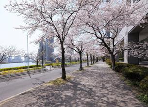 満開の桜並木と石畳の歩道の写真素材 [FYI03409839]
