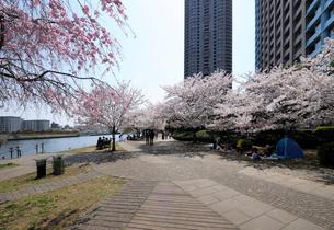 石川島公園の満開の桜並木と花見の人々の写真素材 [FYI03409840]